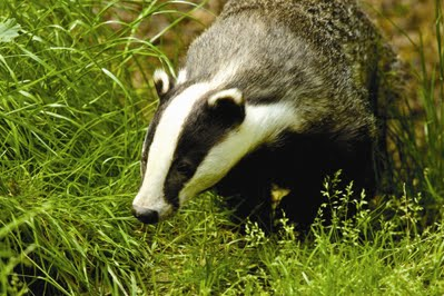 Badger- Protected Species