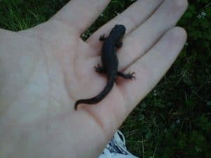 great crested newt survey south wales