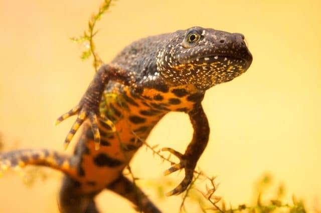 A Year in the Life of a Great Crested Newt