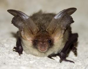 bat- Protected Species