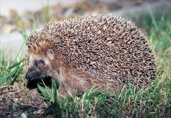 Hedgehogs: Mrs Tiggy Winkle and Family