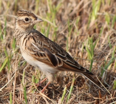 Skylark in the Grass
