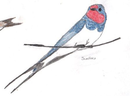 Swallow Sketch South Wales