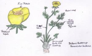 bulbous buttercup