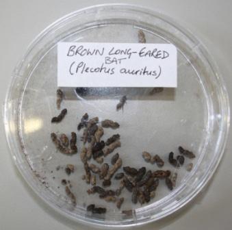 brown long-eared bat droppings