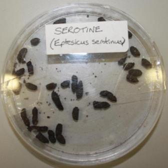serotine bat droppings