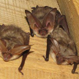 Bat Identification Workshop November 7th 2017