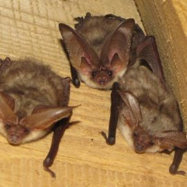 Bat Identification Workshop November 7th 2017