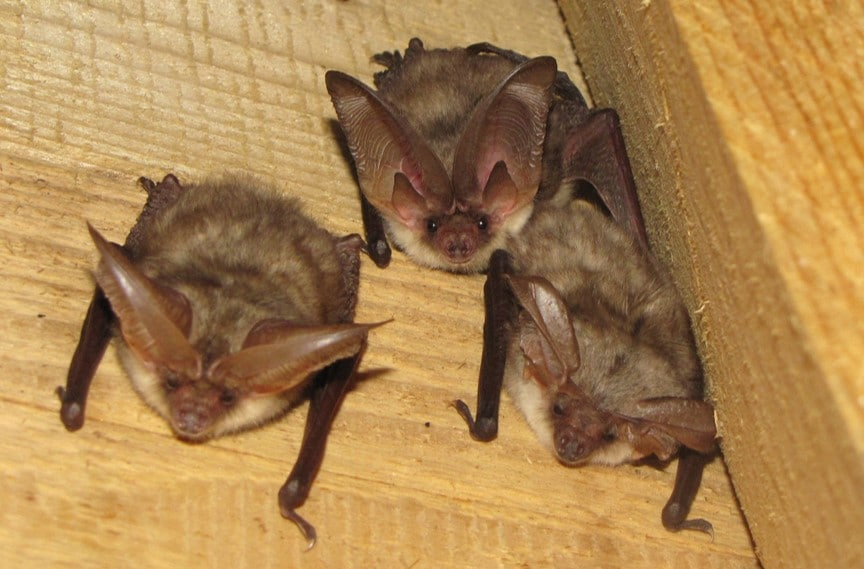 bat mitigation for long-eared bat