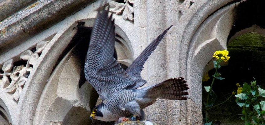 Peregrine Falcon: Ecology, Survey Methods and Mitigation (Date to be Confirmed)