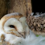 Barn Owl Course