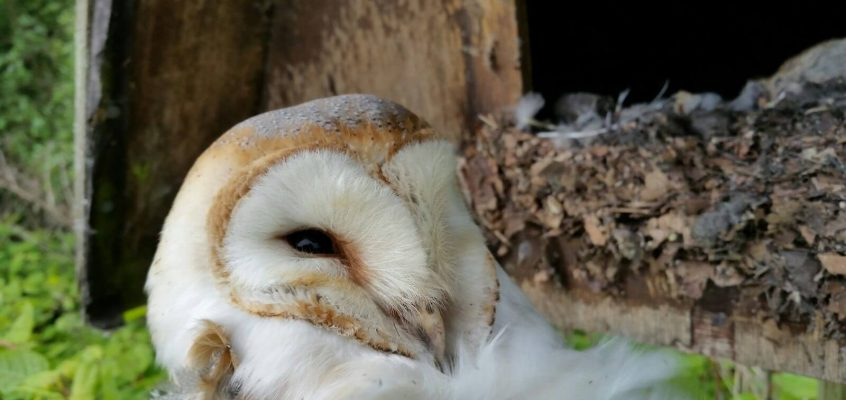 Barn Owl Course: June 17th 2018