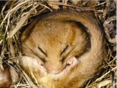 Dormouse Survey Devon