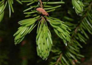 spruce identification