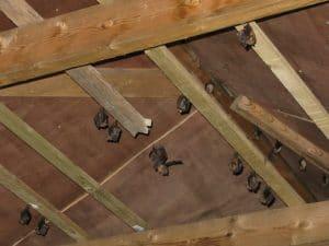 timber sarking bat mitigation