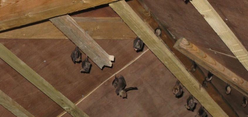 How Successful Are Bat Mitigation Strategies?