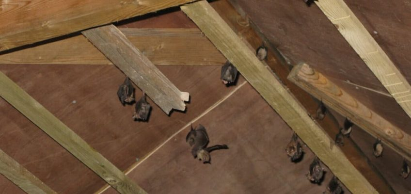 timber sarking bat mitigation
