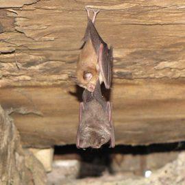 Bat Survey Ludlow, Shropshire