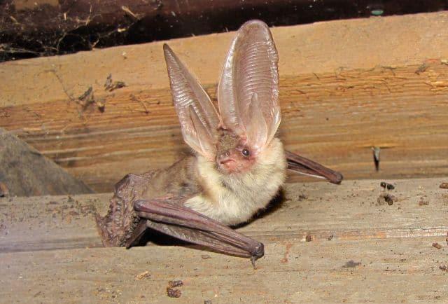 Bat in Loft