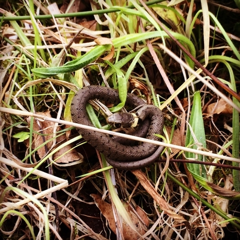 A New Species of Snake in the UK…?