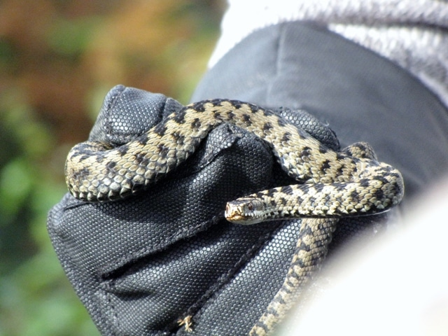 Reptile Survey Carmarthen