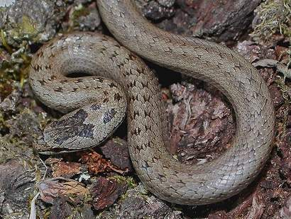Smooth Snake – Species Guide