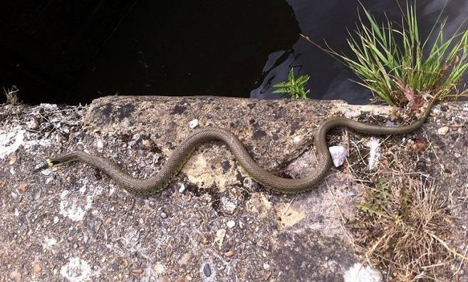 Grass Snake – Species Guide