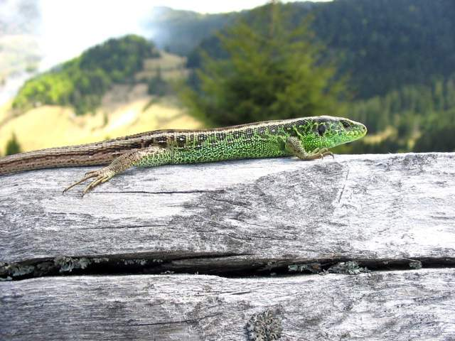 Sand Lizard – Species Guide