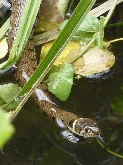 Snakes that eat fish? - BabyGaga