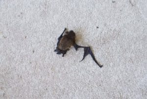 This bat died from a cat attack (Reference: Sue Harlow, Cornwall Bat Care, 2018)
