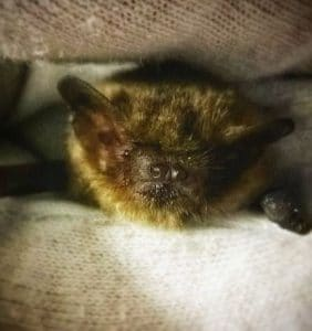 Pipistrelle bat. Reference Stew Rowden, Bristol Bat Rescue, 2018.