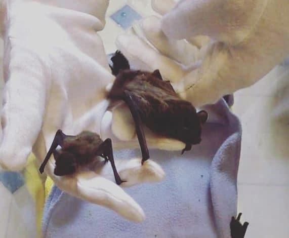 Pipistrelle pup (left) Leisler pup (right). Reference: Ashley Dale, Bristol Bat Rescue, 2018