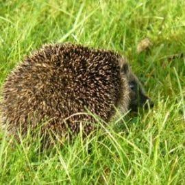 Hedgehog Protection