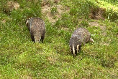badger survey monmouth