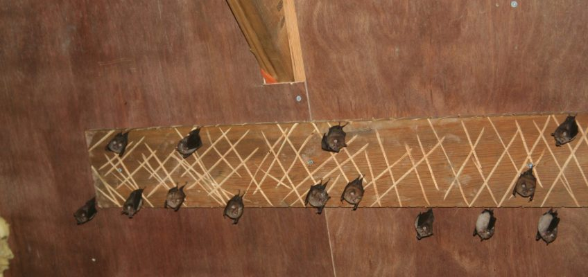 bat survey wales
