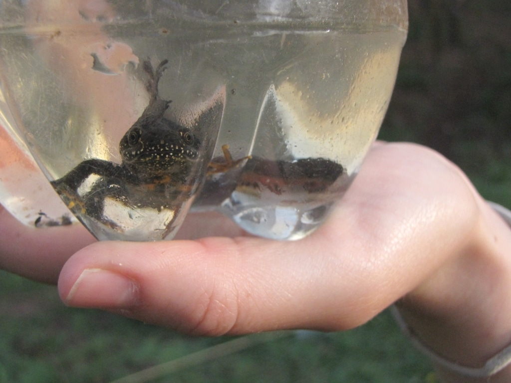 great crested newt survey course