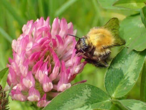 Clover & Bee
