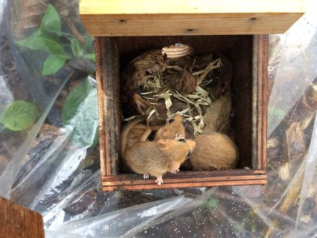 Dormouse Monitoring
